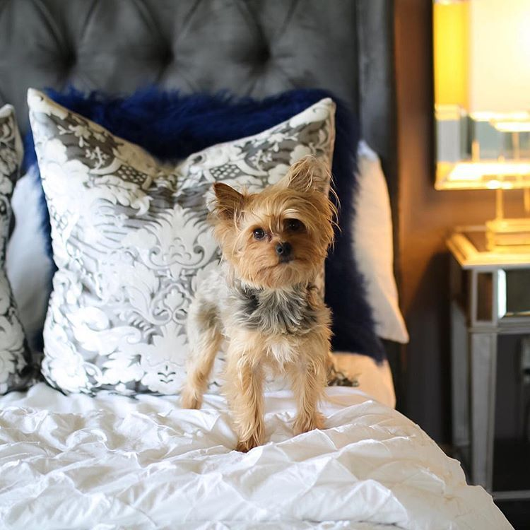 #ZGalleriePets:  beauty + lifestyle youtuber @misslizheart's furry friend Nala tests out our Jameson Bed. Also styled with our chic pillows.