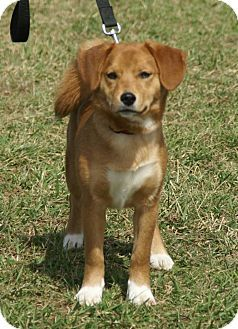 Shiba Inu Beagle Mix Dog For Adoption In Hawk Point Missouri Mr