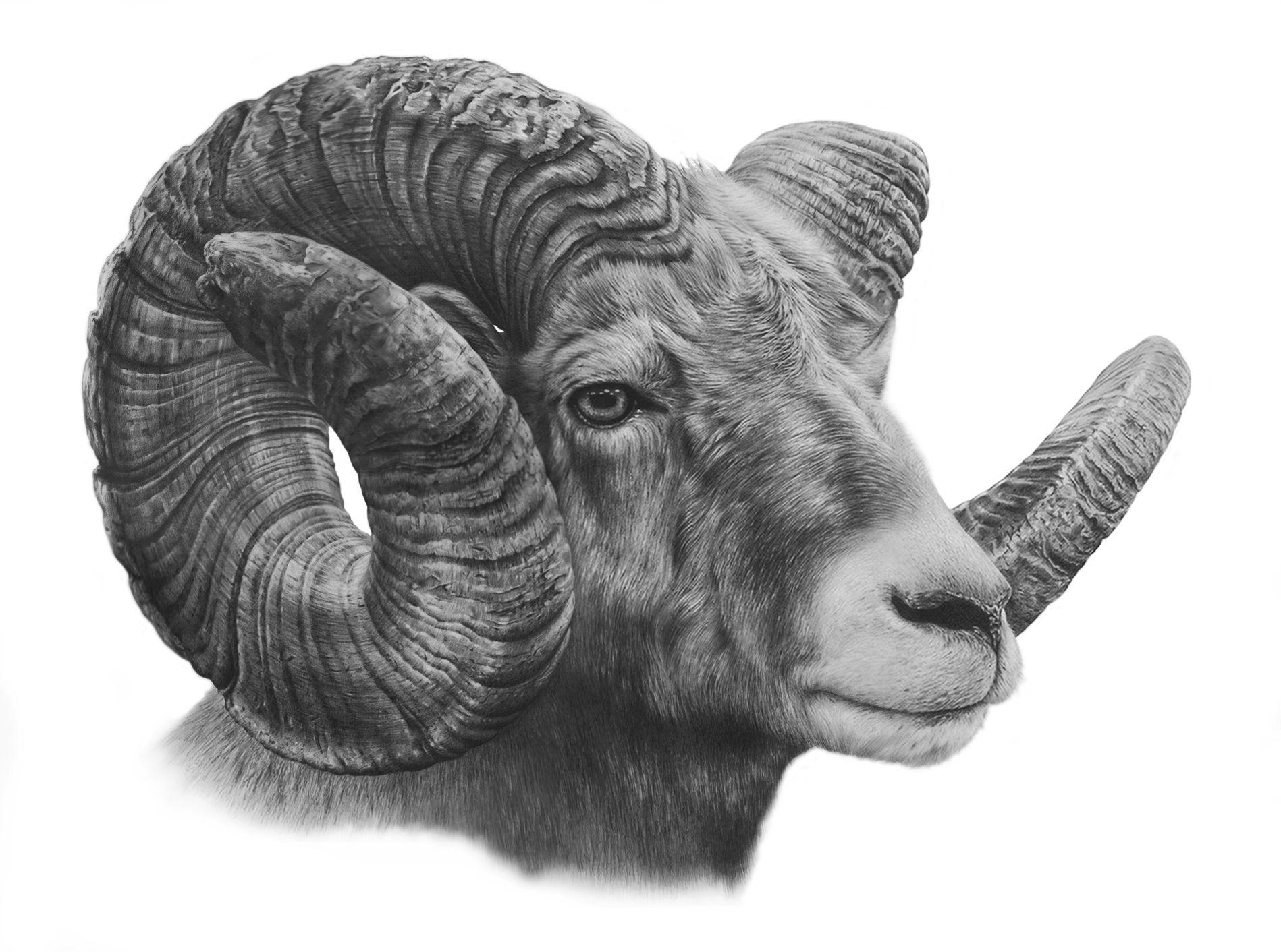 Big Horn Sheep Study http://www.denismayerjr.com | Sheep ...