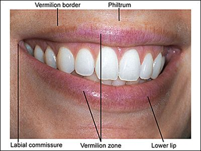 photograph points out the <b>parts</b> of the <b>lips</b> image ...