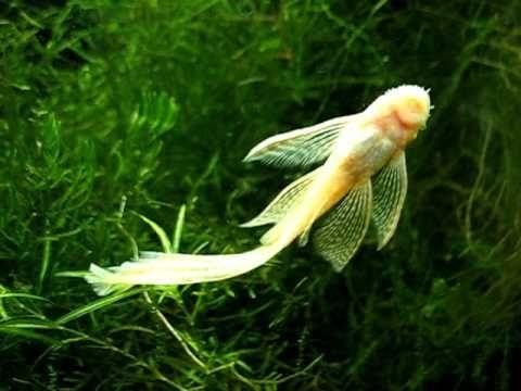 Albino Longfin Bristlenose Pleco Eating Algae From Aquarium Side Fish Aquarium Fish Live Fish