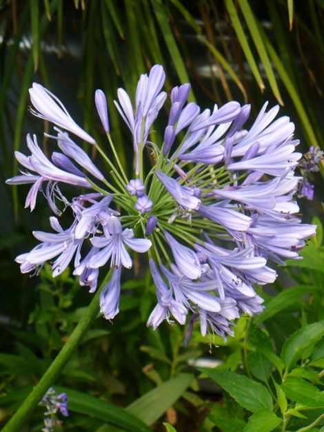 Improved Peter Pan Lily Of The Nile Agapanthus Agapanthus Africanus Improved Peter Pan Copyright C Almostedenplant Hummingbird Plants Agapanthus Day Lilies