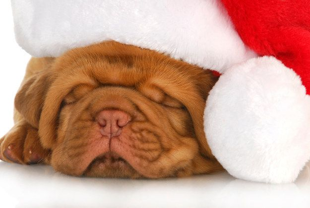 This literal pile of wrinkles, dressing up for the tinier pups: | 15 Puppies Who Have This Whole Holiday Thing On Lock