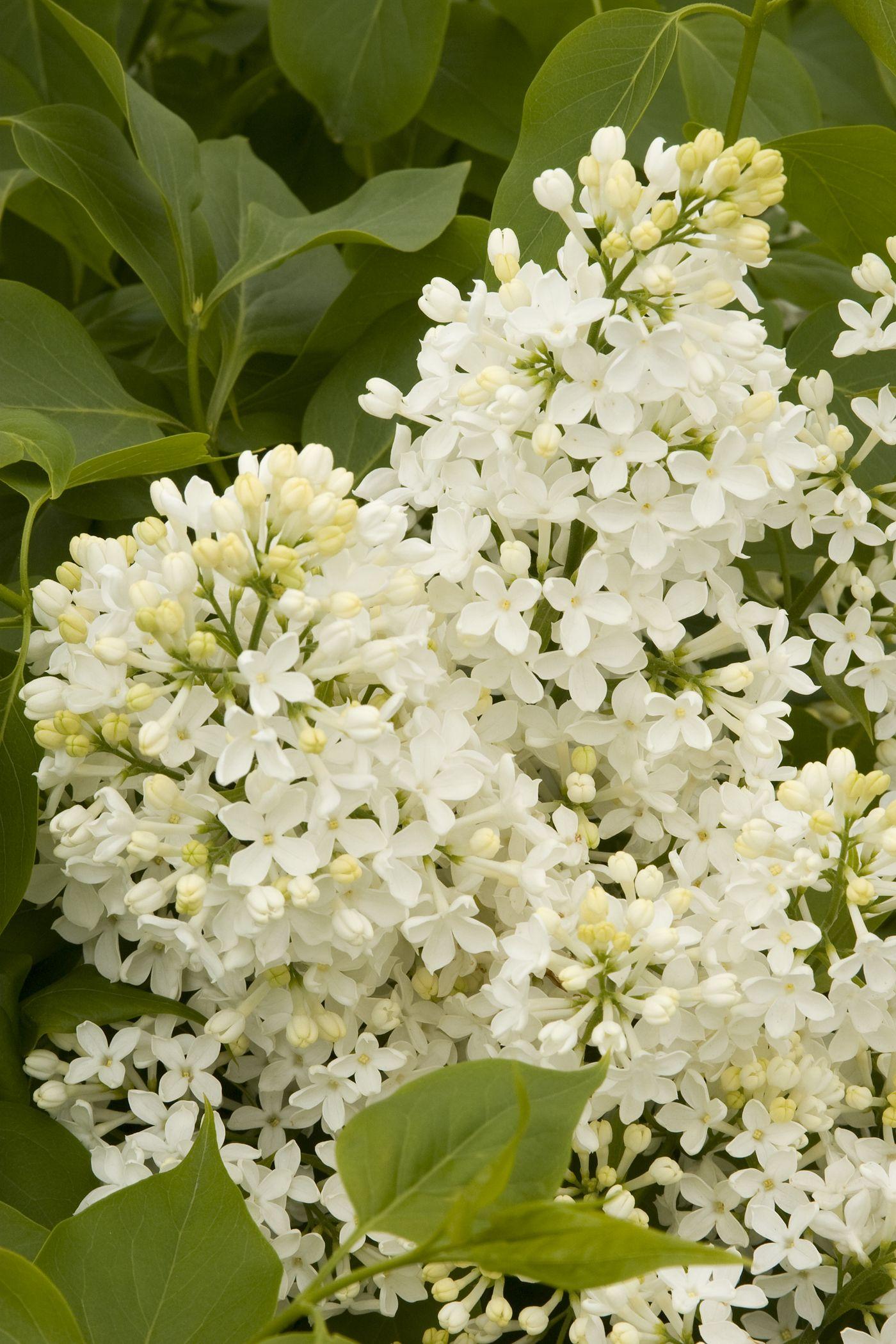 Arbusto Fiori Bianchi.Canadian Lilac Syringa X Hyacinthiflora Mount Baker Rose