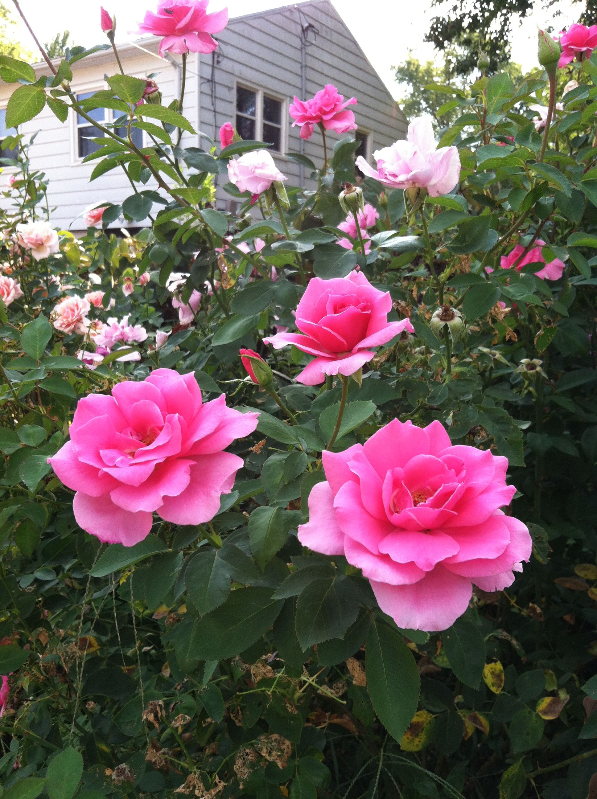 Prettiest Pink Rose Ever Flowers And Gardens Pinterest