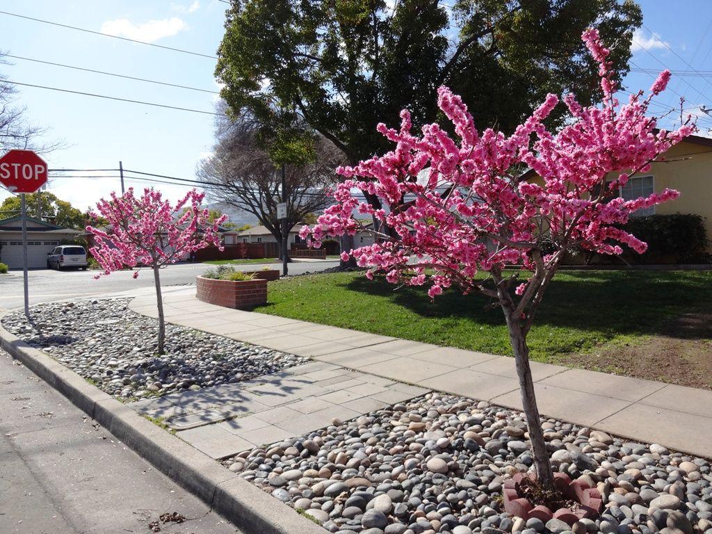 Parking Strip Landscaping--flowering Trees And Rocks