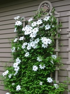 clematis ms bateman garden flowers and plants. Black Bedroom Furniture Sets. Home Design Ideas