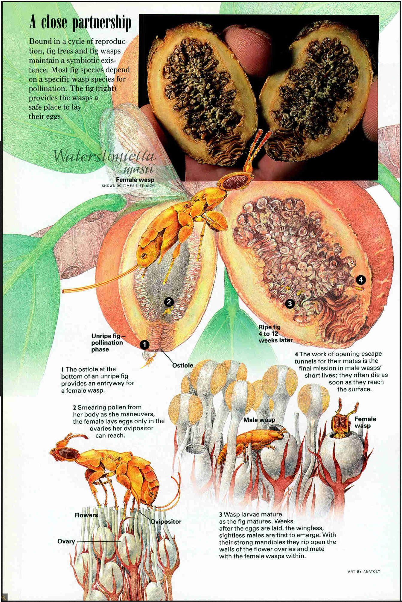 Symbiotic Relationship Fig Trees Amp Fig Wasps Documentry