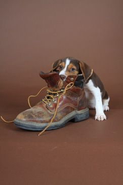 Beagle Portraits