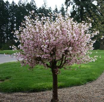 Prunus Triloba Flowering Almond Can Prune As Bush Or Small Tree Tree Pruning Garden Shrubs Landscape Trees