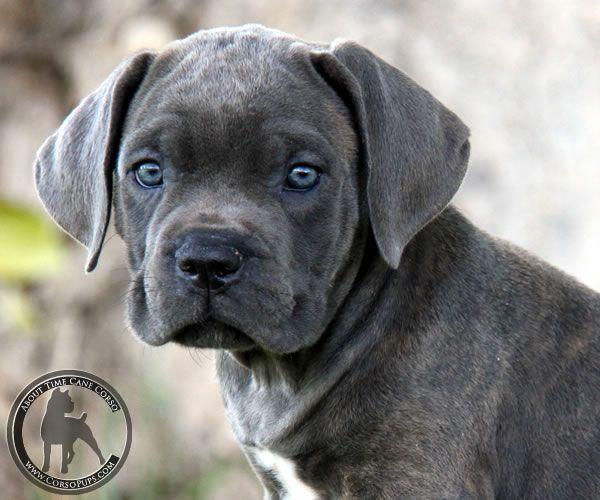 Cane Corso Puppy Cane Corso Puppies Cane Corso Dog Cane Corso