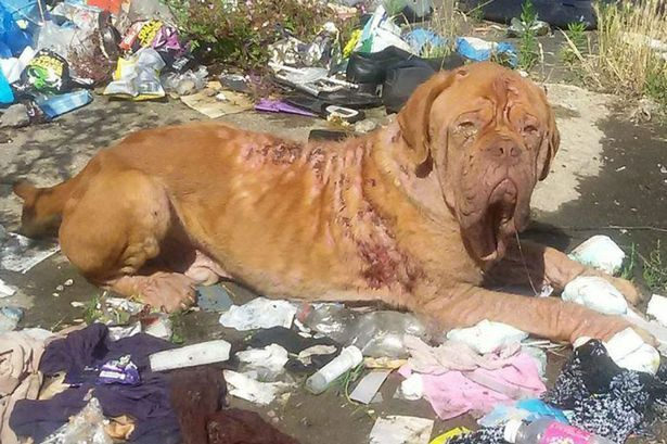 Rare Dog Found Battered And Left In Pile Of Rubbish Dog Cruelty Rare Dogs Dogs