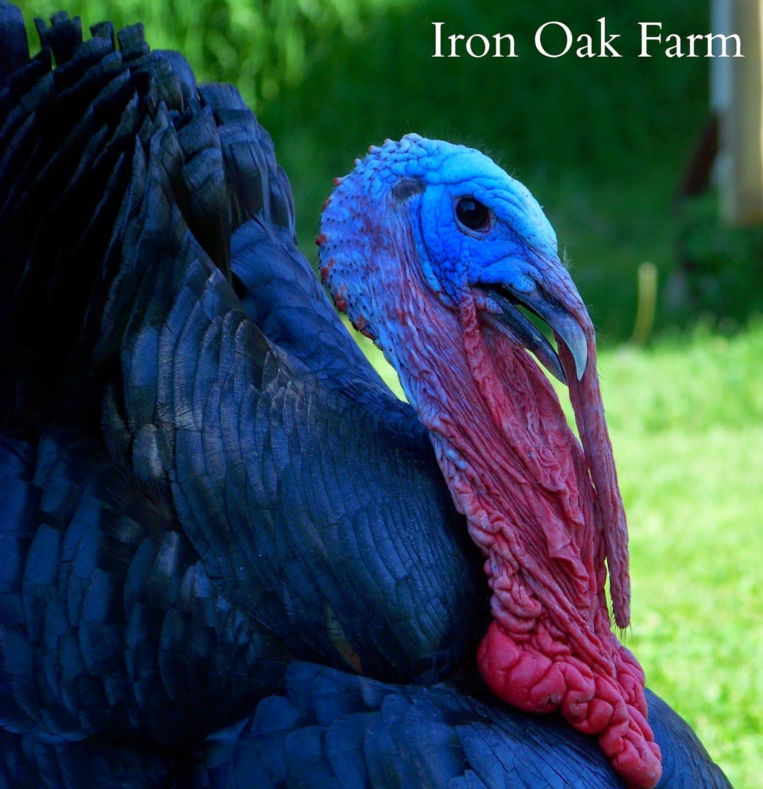 Iron Oak Farm: CC Post: The American Turkey: A Historic