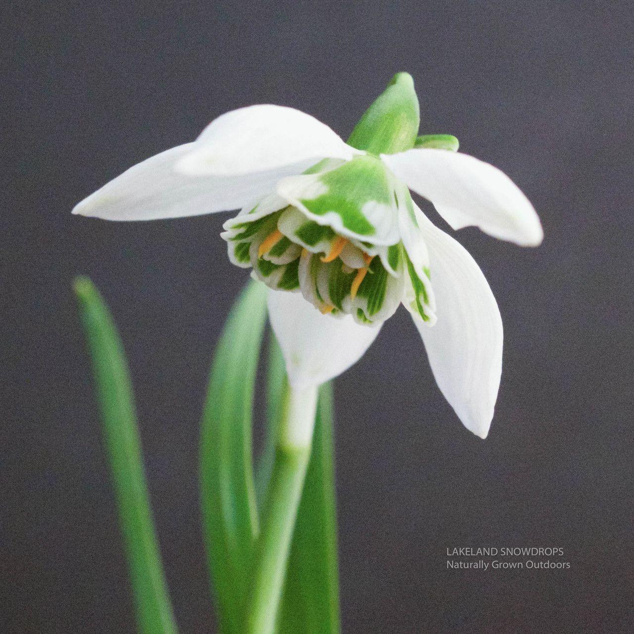 Lakeland Snowdrops Galanthus Betty Hansell