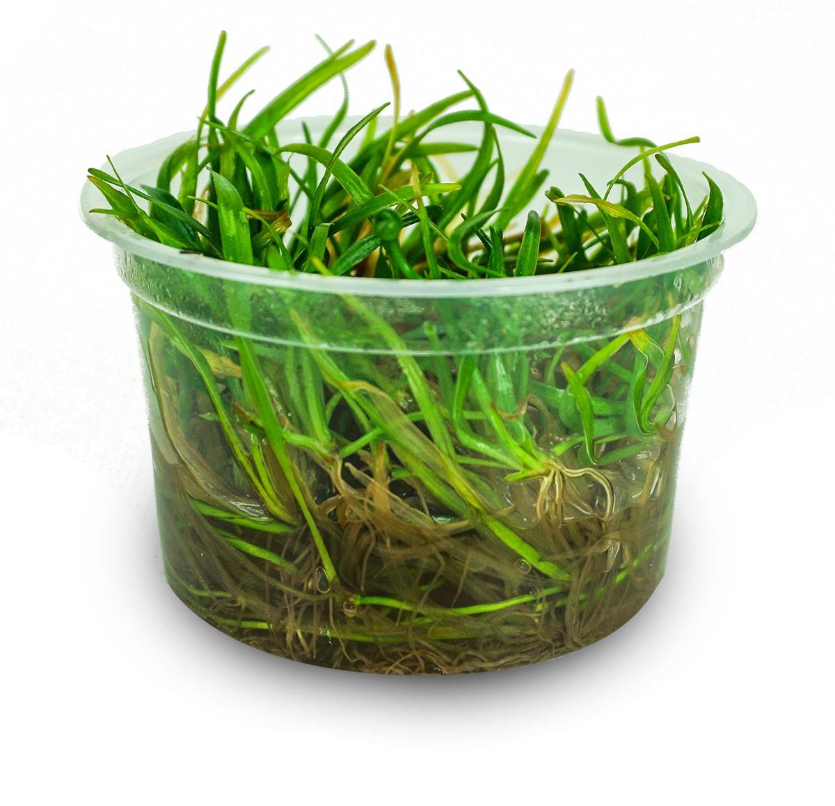Helanthium Tenellum Green Pygmy Chain Sword Aquatic Plants Josh S Frogs Mini Plants Plants Terrarium Plants For Sale