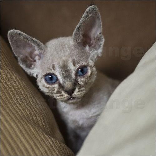 Devon Rex Devon Rex Cats Rex Cat Devon Rex Kittens