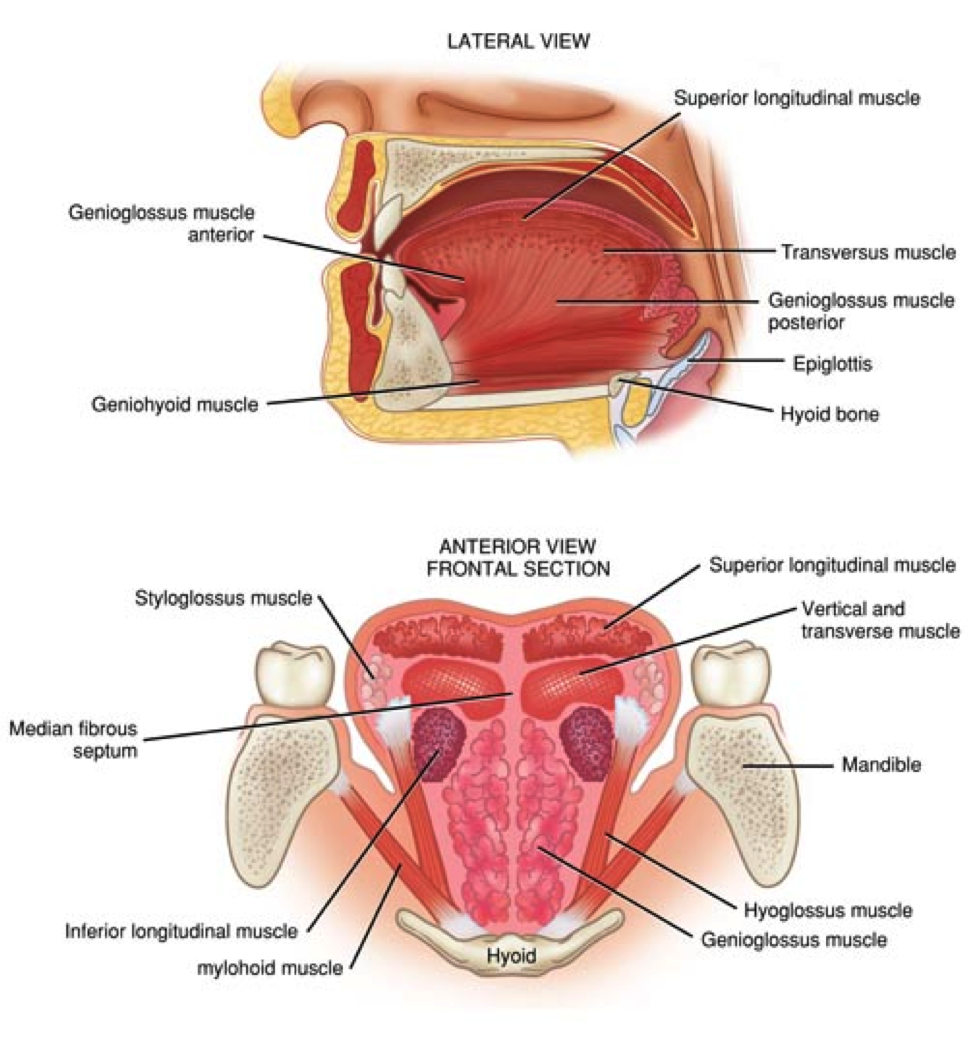 Tongue Muscles Dysphasia Pinterest Tongue Muscles And Language