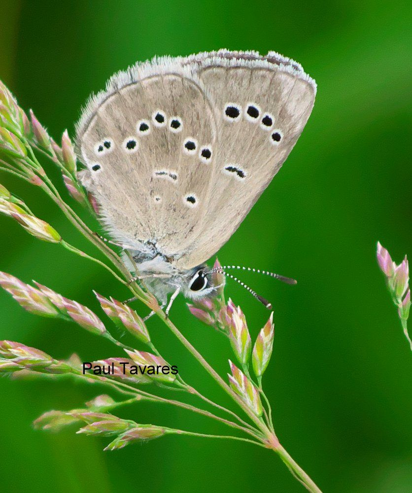 Silvery Blue - Glaucopsyche lygdamus  - 2014-06-13