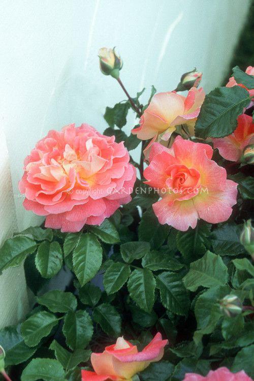 Rosa U0027Designer Sunsetu0027 Patio Rose