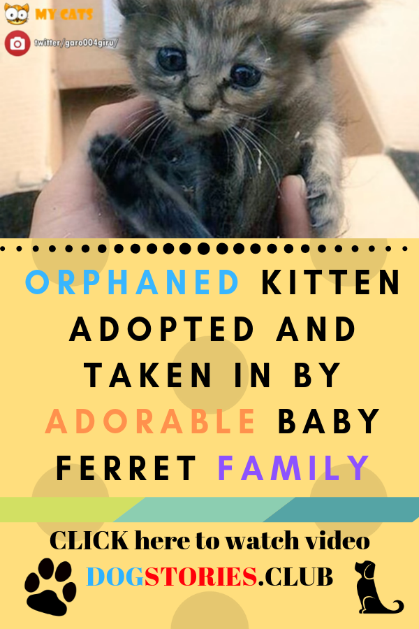 Orphaned Kitten Cat Adoption Rescue Story Baby Ferrets Kittens