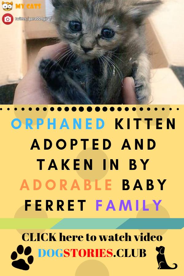Orphaned Kitten Cat Adoption Rescue Story Baby Ferrets Kittens Cat Adoption