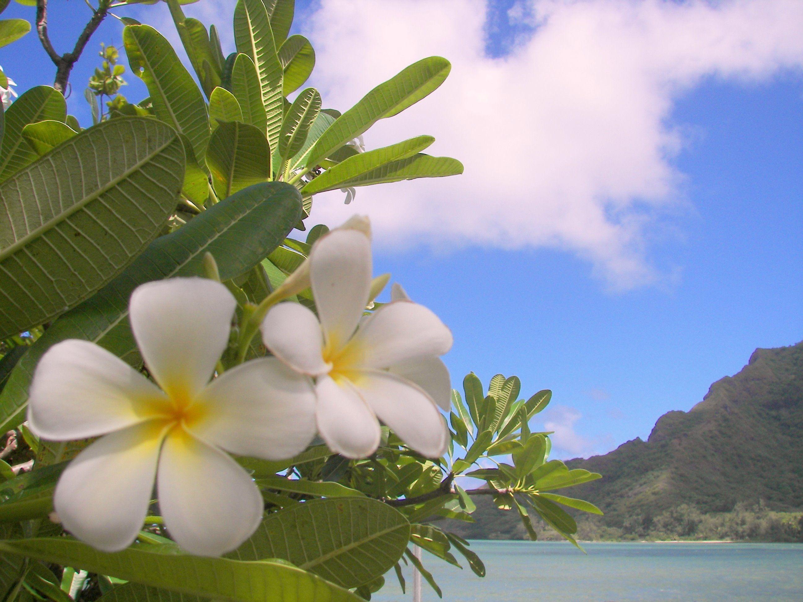 Beautiful White Plumeria | Zen | Pinterest | Frangipanier ...