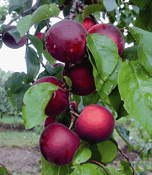Cherrykose 1a Obstpflanzen Online Kaufen Baldur Garten Obstbaume Pflanzen Pflanzen Obst