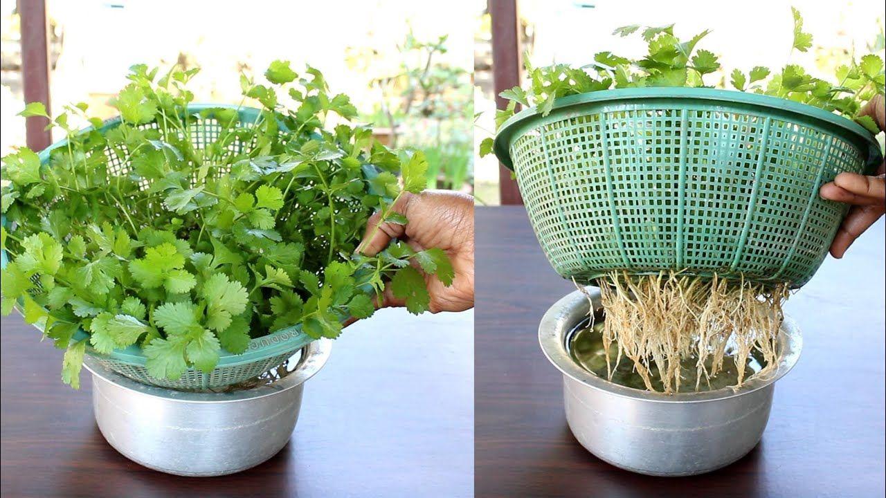 Grow Coriander at home in water; Dhaniya उगाने का सबसे