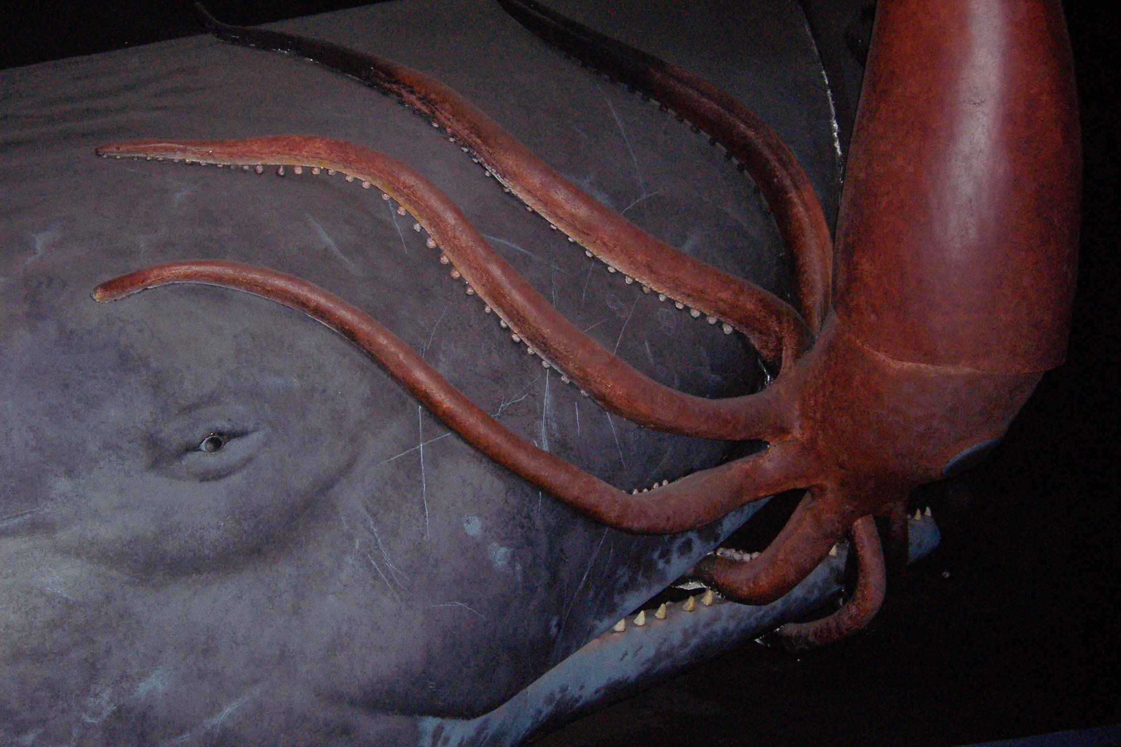 Giant squid attacking whale or whale attacking giant squid ...