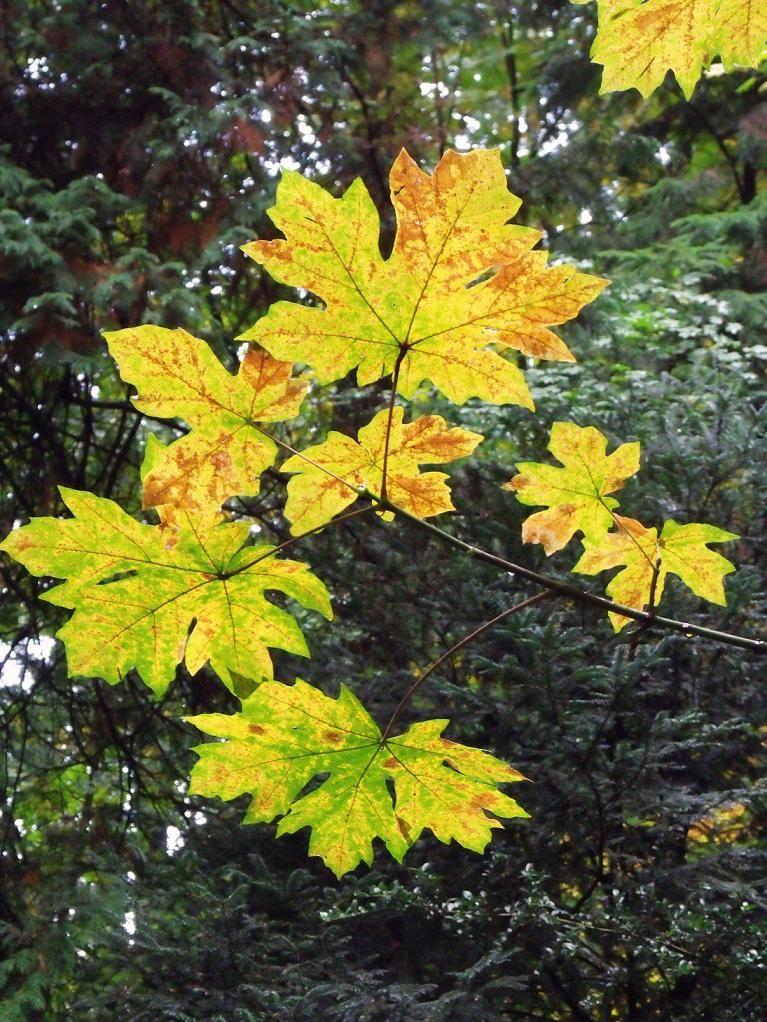 Big Leaf Maple Acer Macrophyllum Pacific Northwest Native Tree