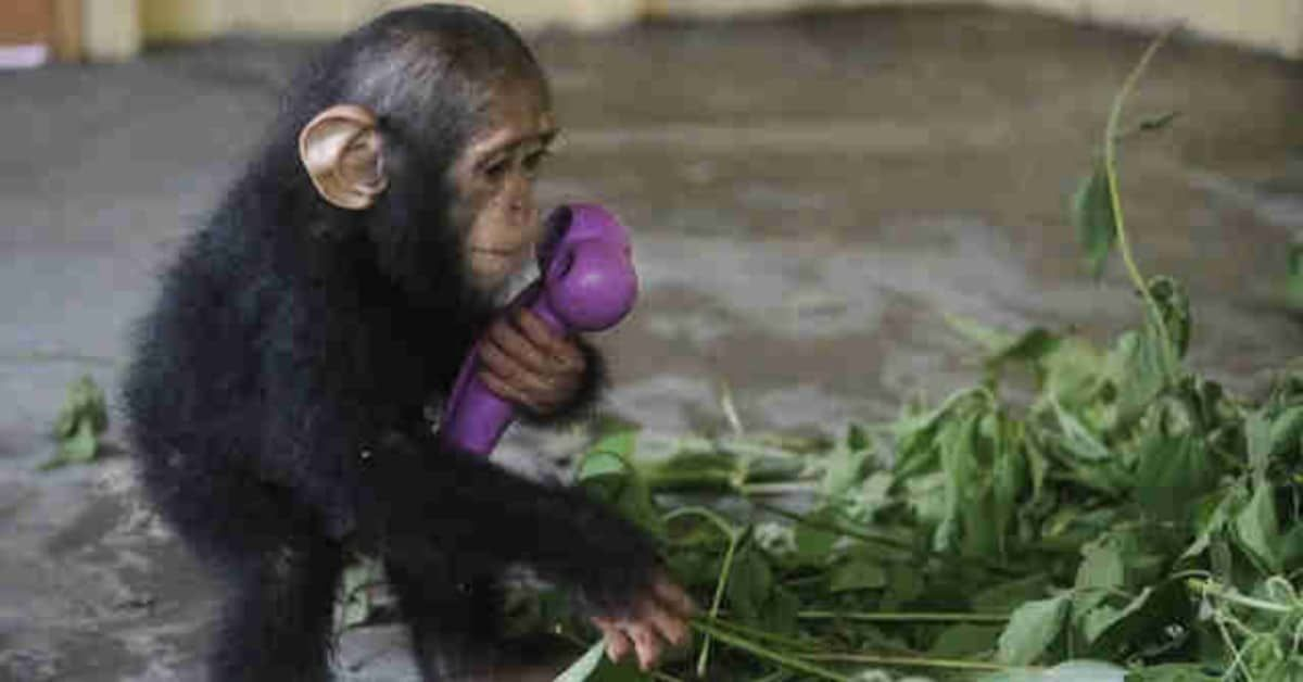 Baby Chimp Can't Stand Being Held, Until He Finally Finds