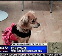 FOX Furry Friend of the Week: Constance, a Chihuahua mix - Chicago News and Weather | FOX 32 News 11/11/13 #pawschicago #adoptable #pets