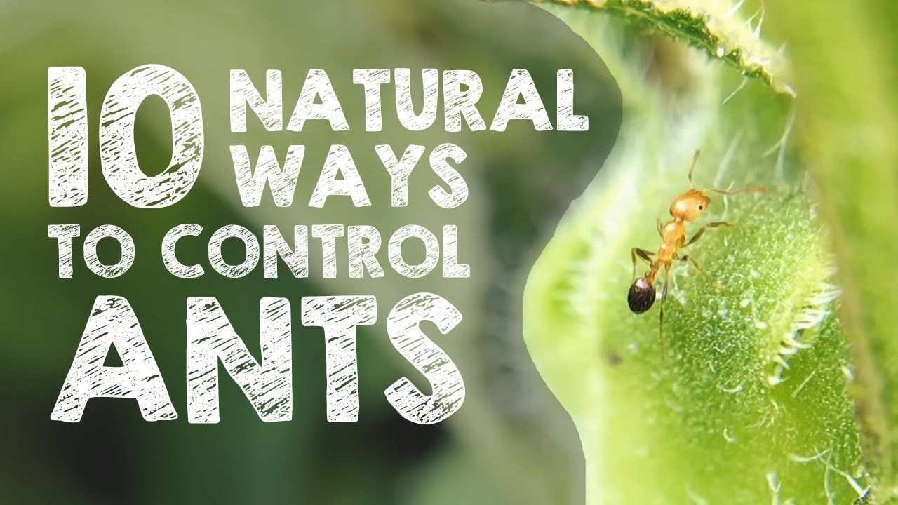 secret to getting rid of ants overnight