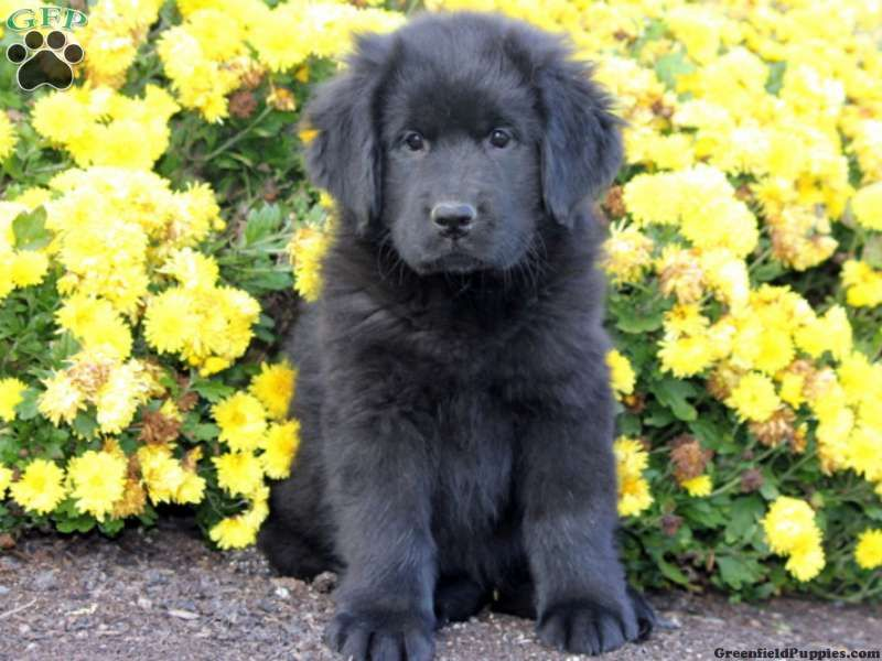 Duchess, Newfoundland Puppy For Sale from Gap, PA