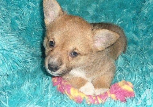 Pembroke Welsh Corgi Puppies Available Pembroke Welsh Corgi Puppies Pembroke Welsh Corgi Corgi