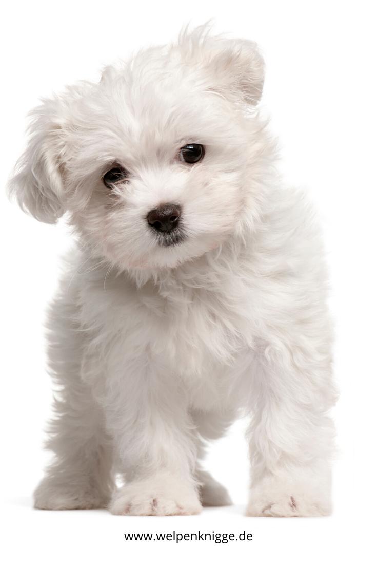 Susser Malteser Welpe In 2020 Hunderassen Hunde Rassen Susse Hunde Welpen