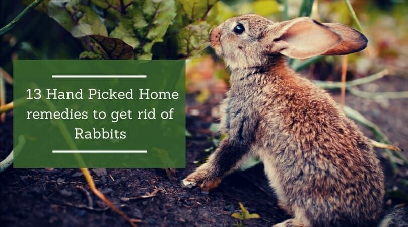 13 Tips on How to Get Rid of Rabbits | Home remedies, Home diy