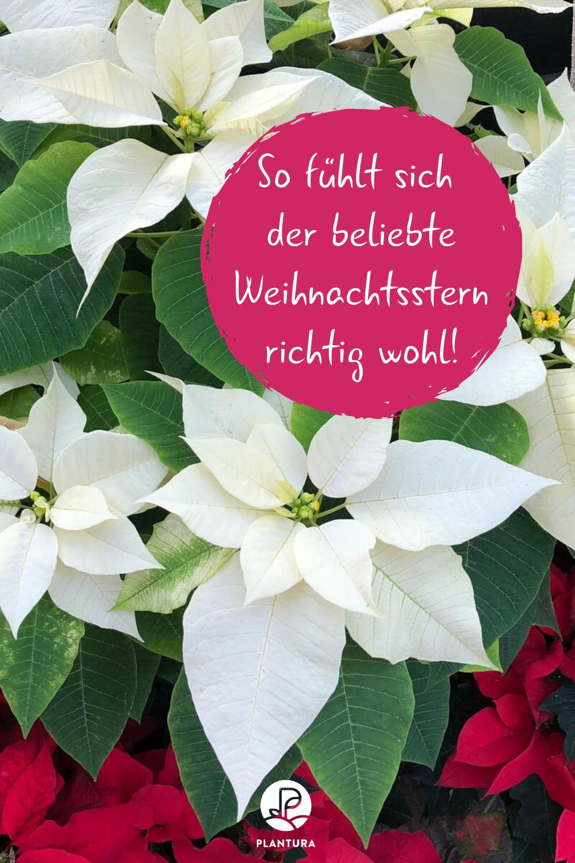 Weihnachtsstern Tipps Zum Pflanzen Pflegen Plantura Pflanzen Weihnachtsstern Zierpflanzen