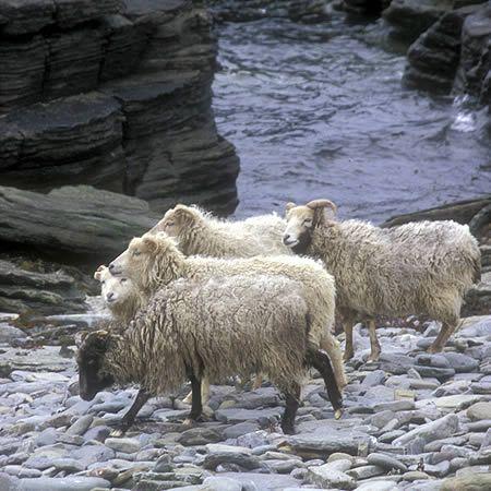 Orkney North Ronaldsay sheep