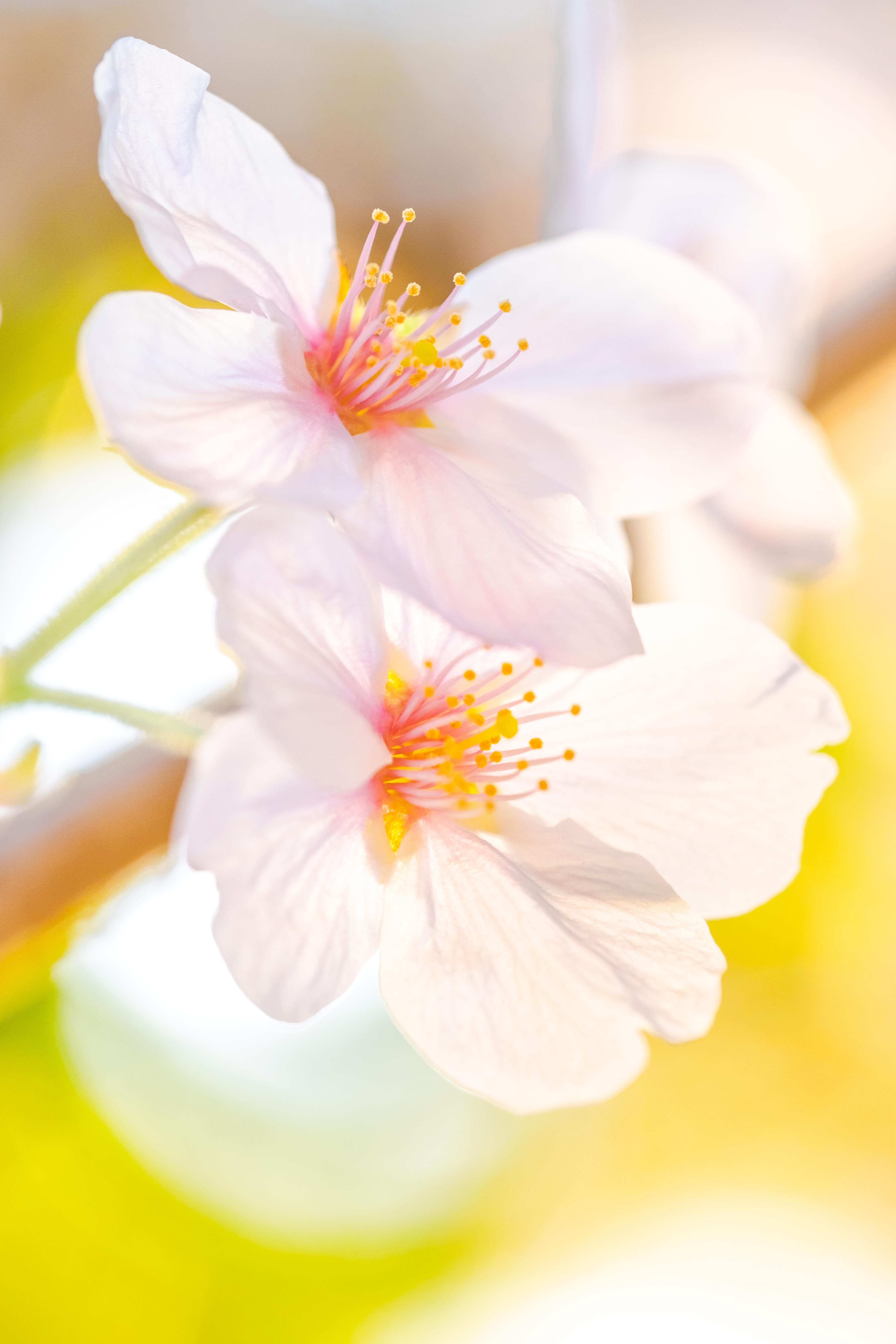 ITAP of Cherry Blossoms#PHOTO #CAPTURE #NATURE #INCREDIBLE