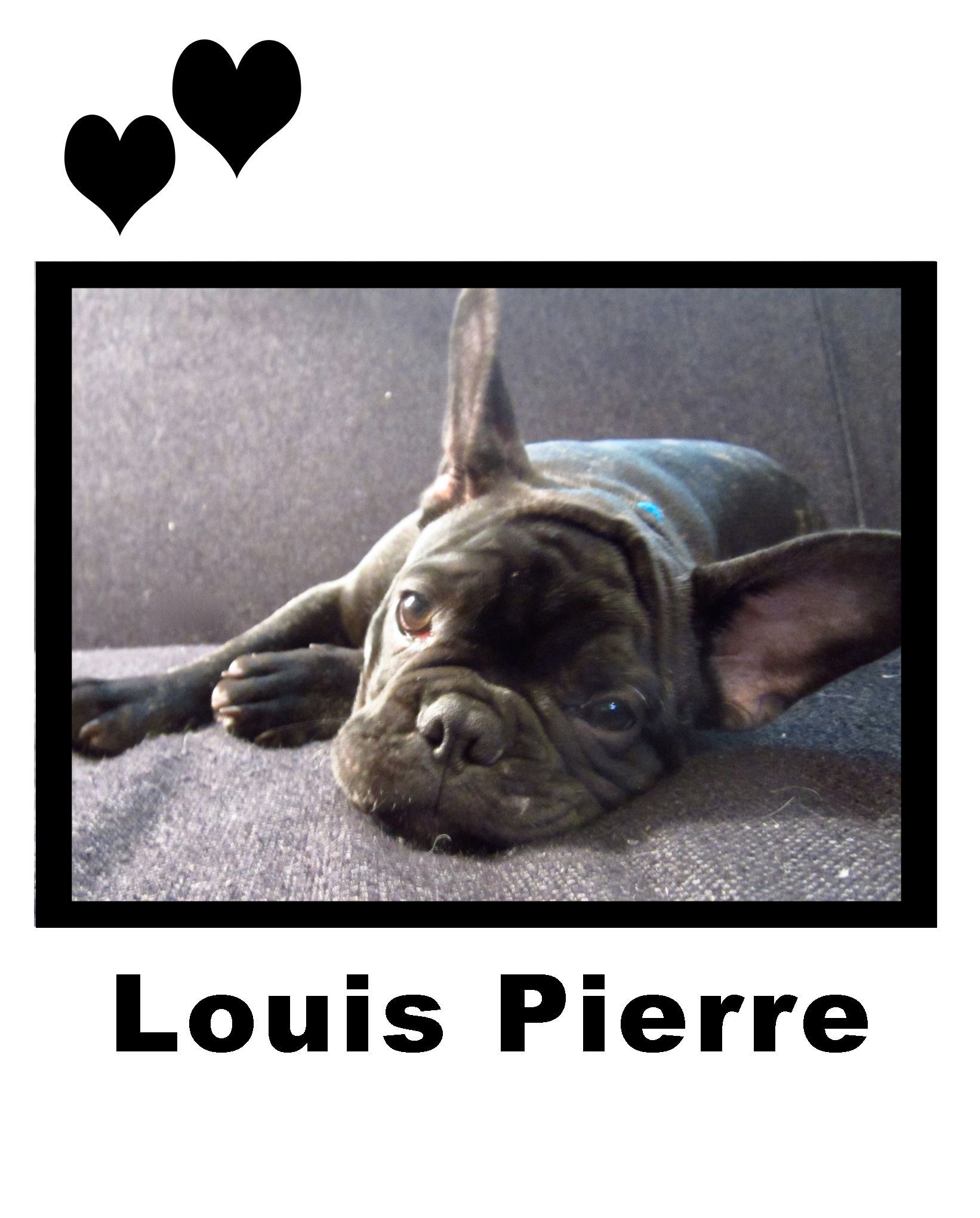 frenchie love