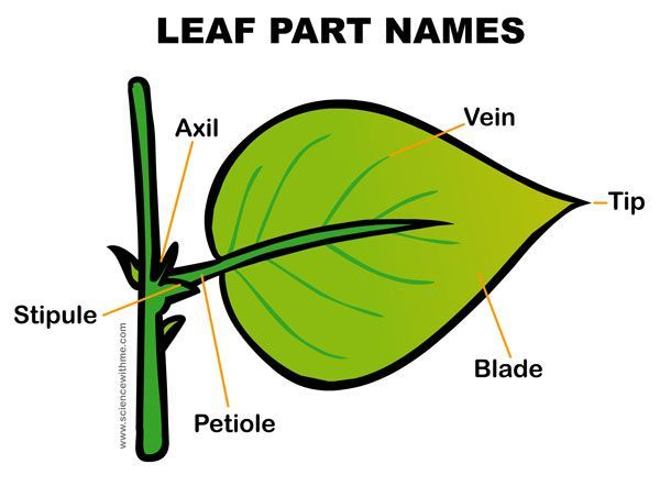 Learn About Leaves Science For Kids Science For Kids Science Activities For Kids Plant Lessons