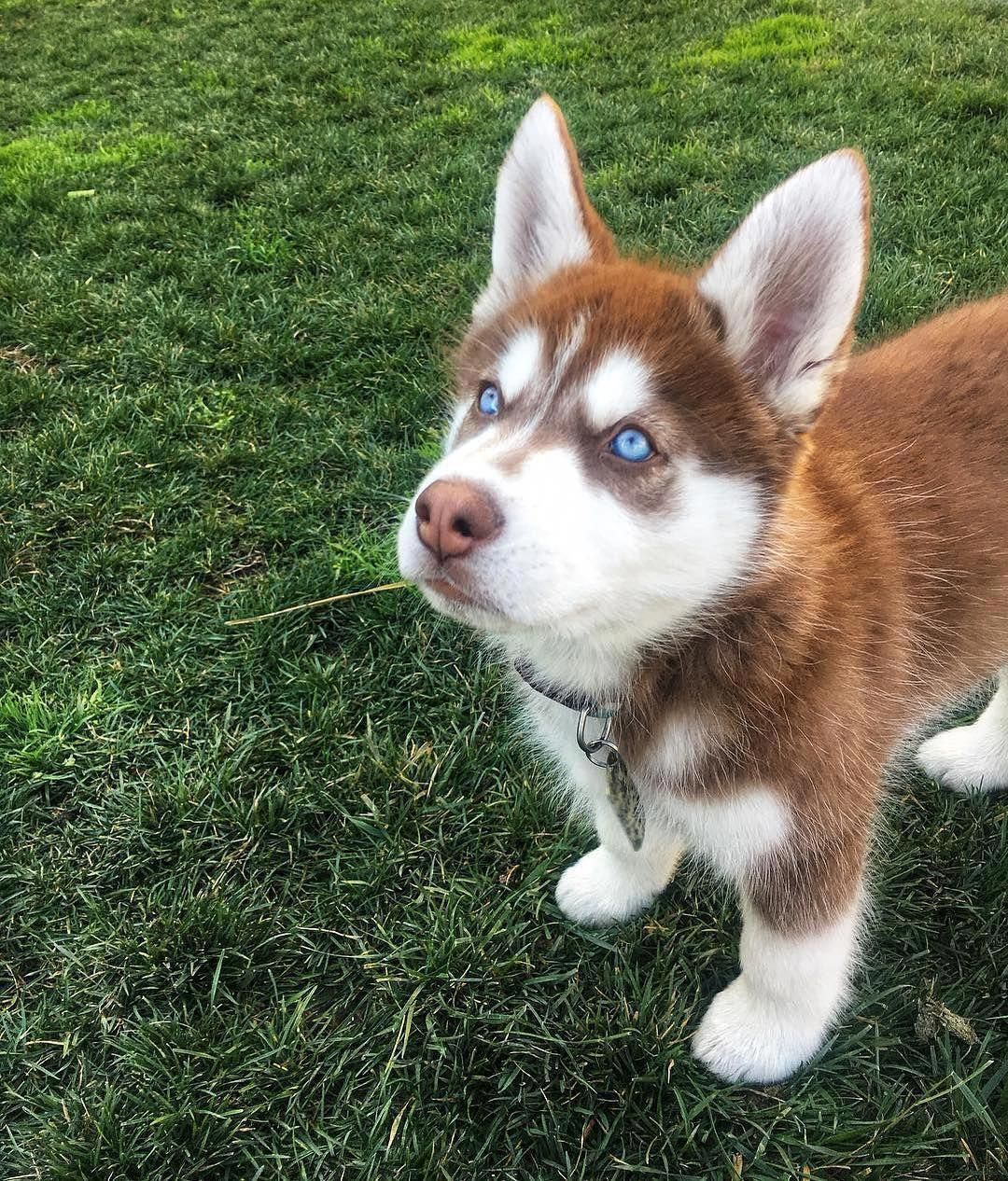 Acquire Excellent Pointers On Siberian They Are Accessible For You On Our Web Site Siberian Husky Siberian Husky Siberian Husky Training