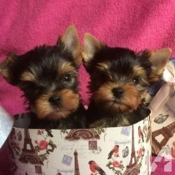 Adorable T Cup Yorkie Puppies Available 501 260 9631 Yorkie Puppy Teacup Yorkie Puppy Yorkie