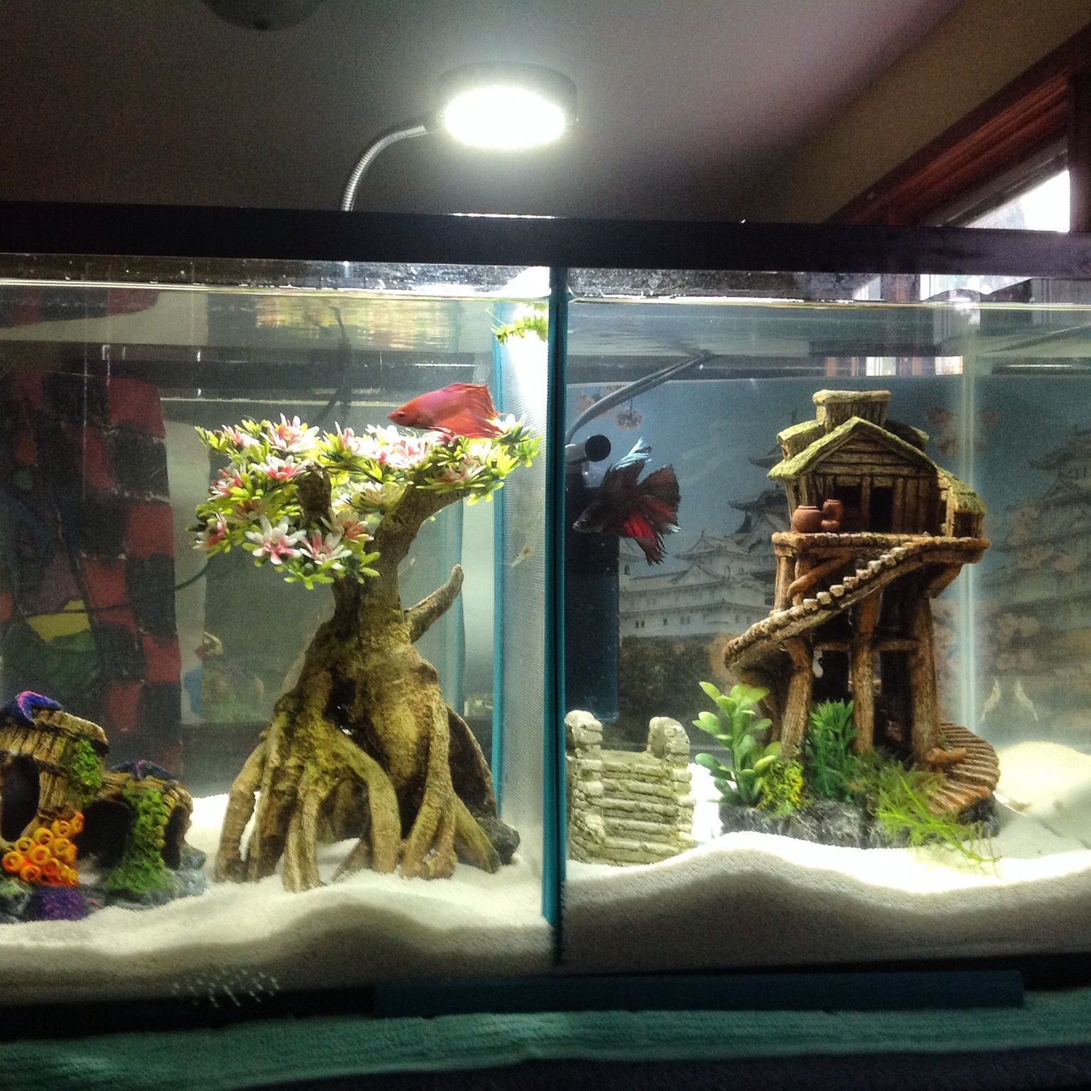 My 10 gallon split male betta tank bettas pinterest for 10 gallon fish tanks