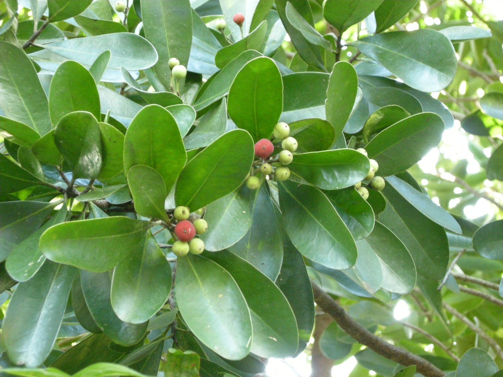 Canella Winterana-Florida …   Fragrant Native Flowers For ...
