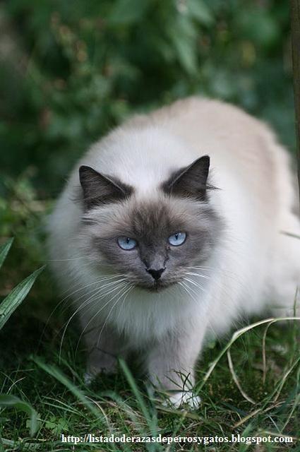 Información sobre la raza de gato Sagrado de Birmania. Espero os guste mi nuevo post. http://listadoderazasdeperrosygatos.blogspot.com/2012/12/raza-sagrado-de-birmania.html http://listadoderazasdeperrosygatos.blogspot.com