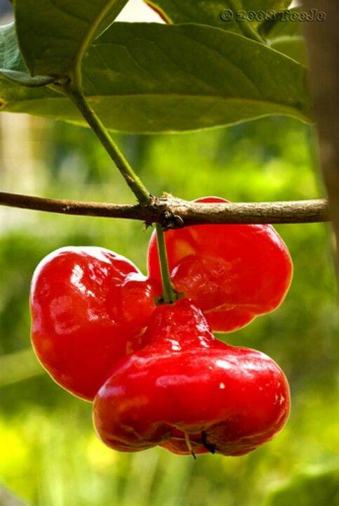 Wax Apples (Syzygium samarangense) ~ Available in red or pink, the fruit has many common names including Jamrul (in Bengali), love apple, java apple, Chomphu (in Thai), Bell fruit (In Taiwan), jambu air (in Indonesian), water apple, mountain apple, water guava (in Malay), wax jambu, Rose apple, makopa, tambis (Philippines), chambekka (in Malayalam), Jumbu (Sri Lanka) and jamalac in French.- Jambu air kancing (Indonesia)