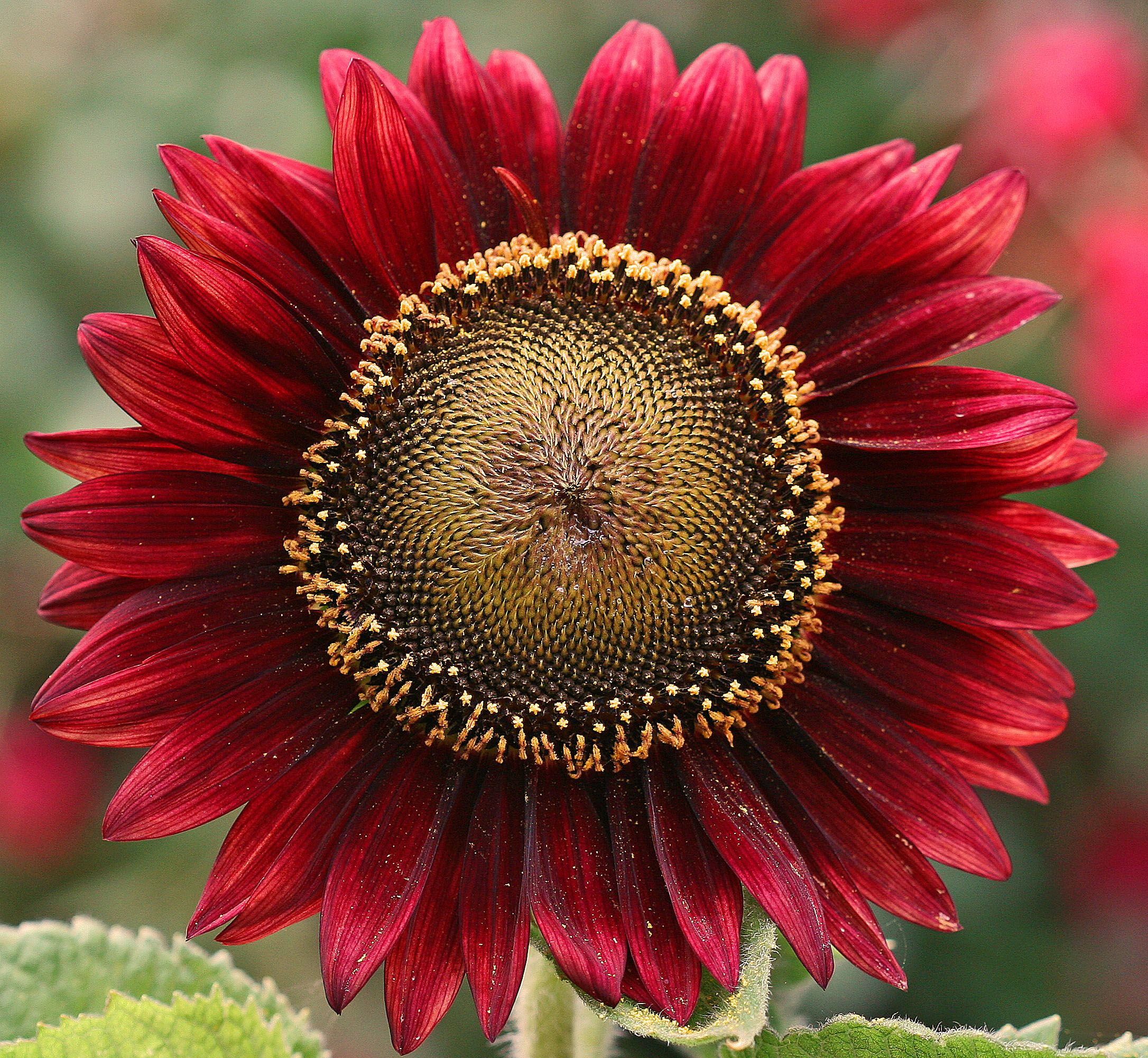 Girasol Rojo Hermoso Red Sun Flower Flickr Intercambio De