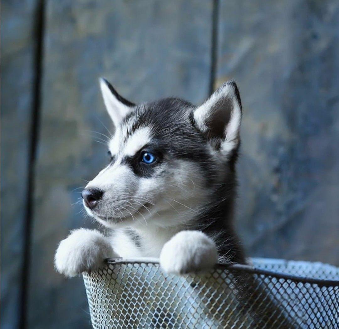 Hellllllp Blue Eyed Husky Puppy Husky Puppy Siberian Husky